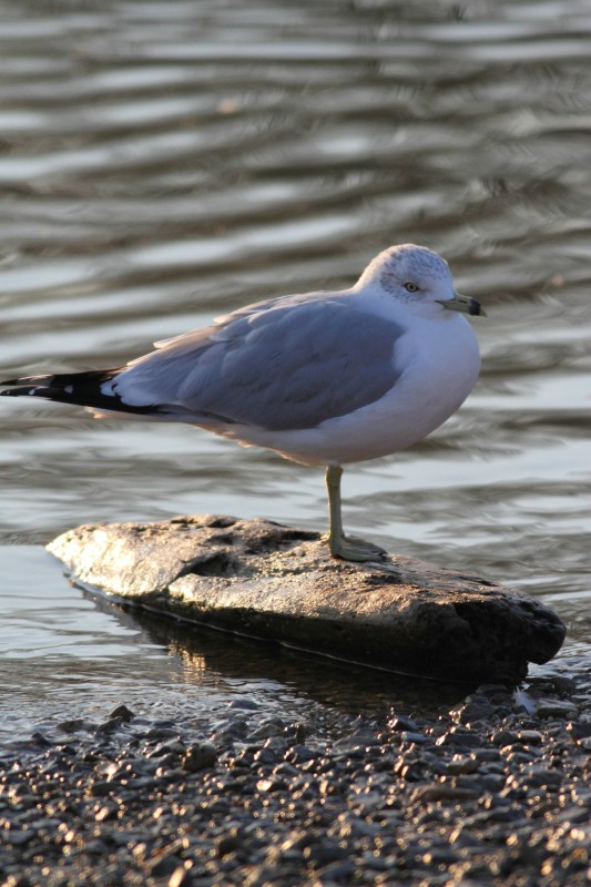 gull on rock author szulecki joshua
