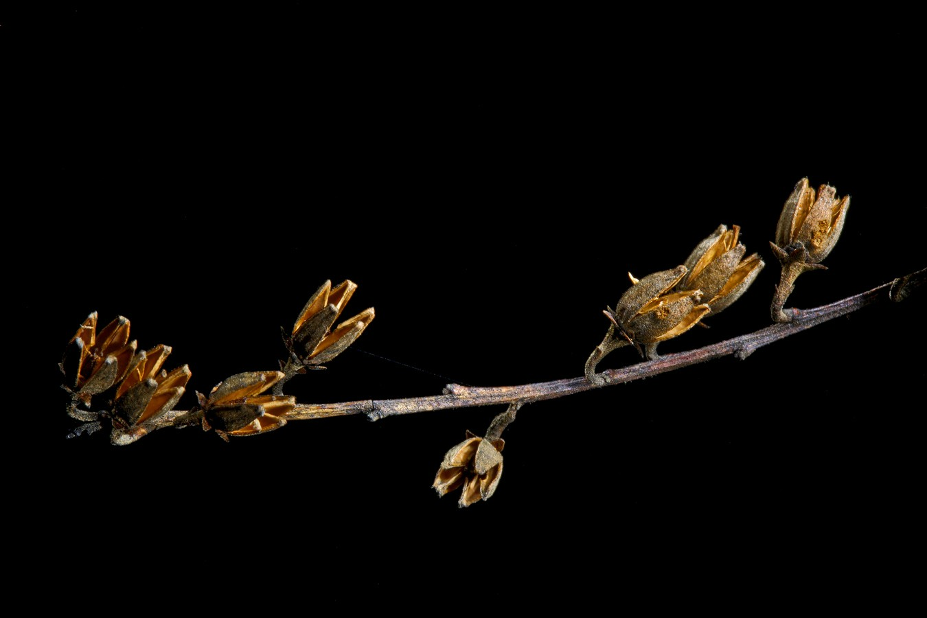sourwood bloom img aw author sava gregory and ver verena