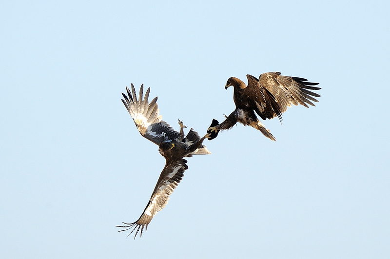 aquila nipalensis courtship flight author lo scal scalzo flavio