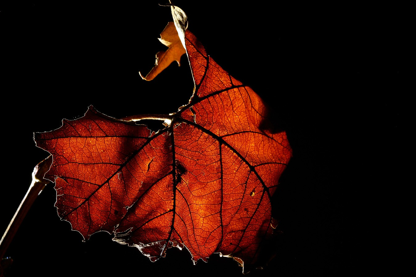 sycamore leaf back lit img aw author sava gregory and verena