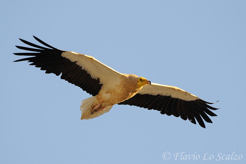 neophron percnopterus egyptian vulture author l lo scalzo flavio