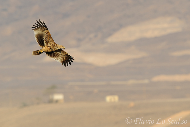 aquila heliaca eastern imperial eagle author lo scalzo flavio