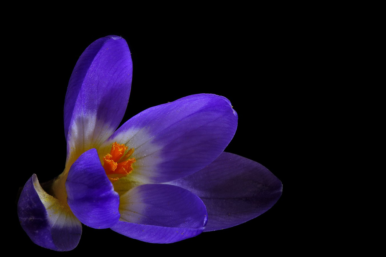 old crocus img aw author sava gregory and verena