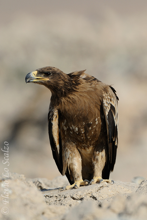 aquila nipalensis steppe eagle author lo scalzo flavio