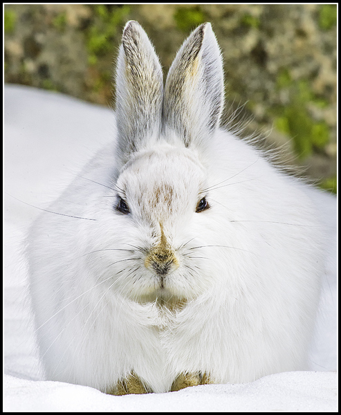 snowshoe hare crop author gricoskie jared