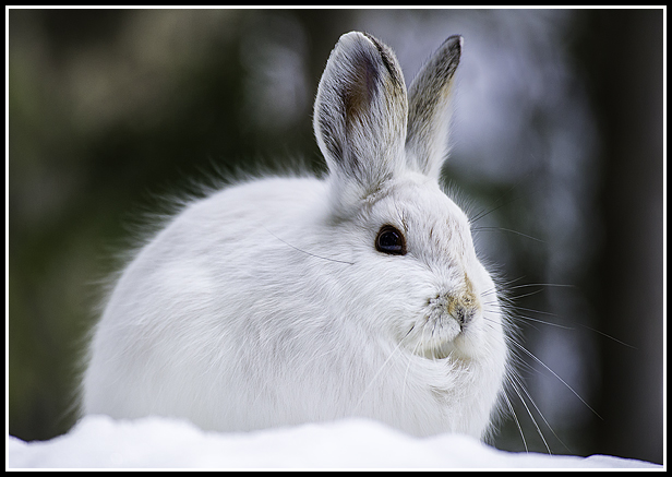 snowshoe hare cute author gricoskie jared