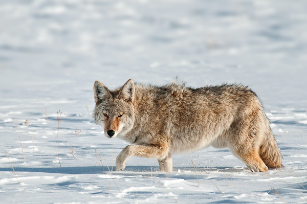coyote leg up in the snow author gricoskie jared