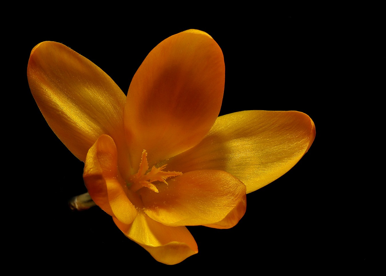first yellow crocus img aw author sava gregory an and verena