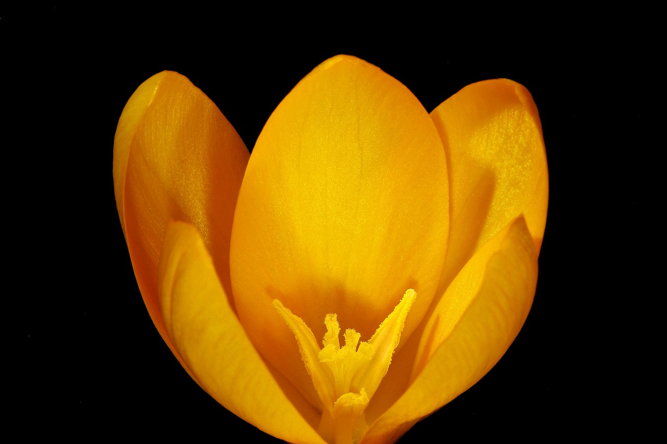 yellow crocus img aw author sava gregory and vere verena