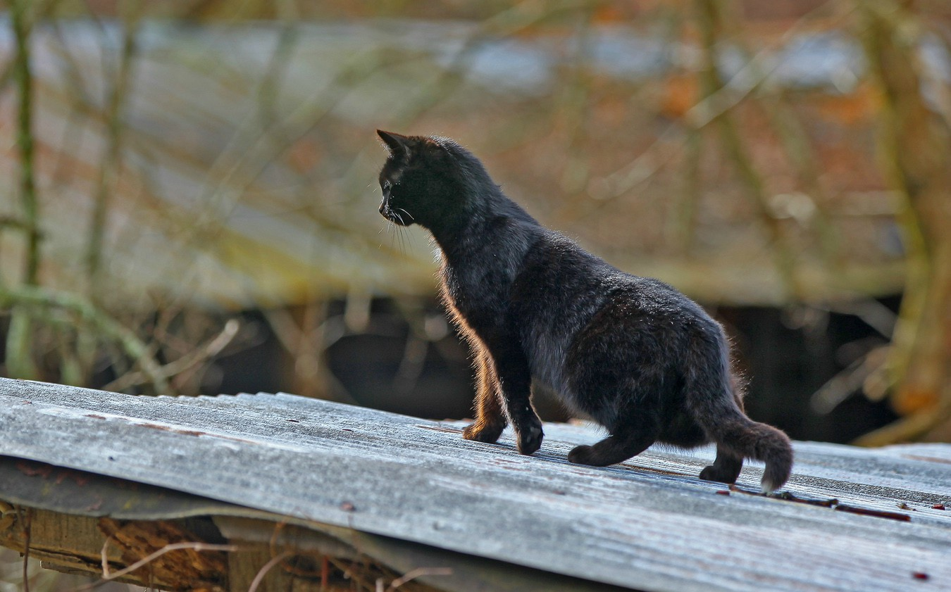cat on a cold tin roof img aw author sava gregory and verena