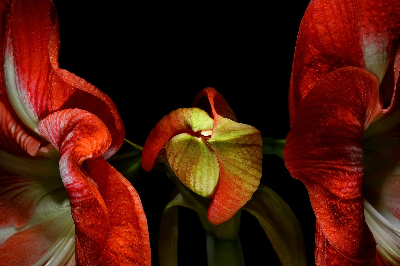 amaryllis squeezed aw author sava gregory and ve verena