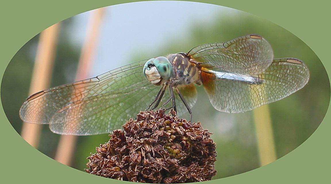 blue dasher pachydiplax longipennis adult male dra barman dilip