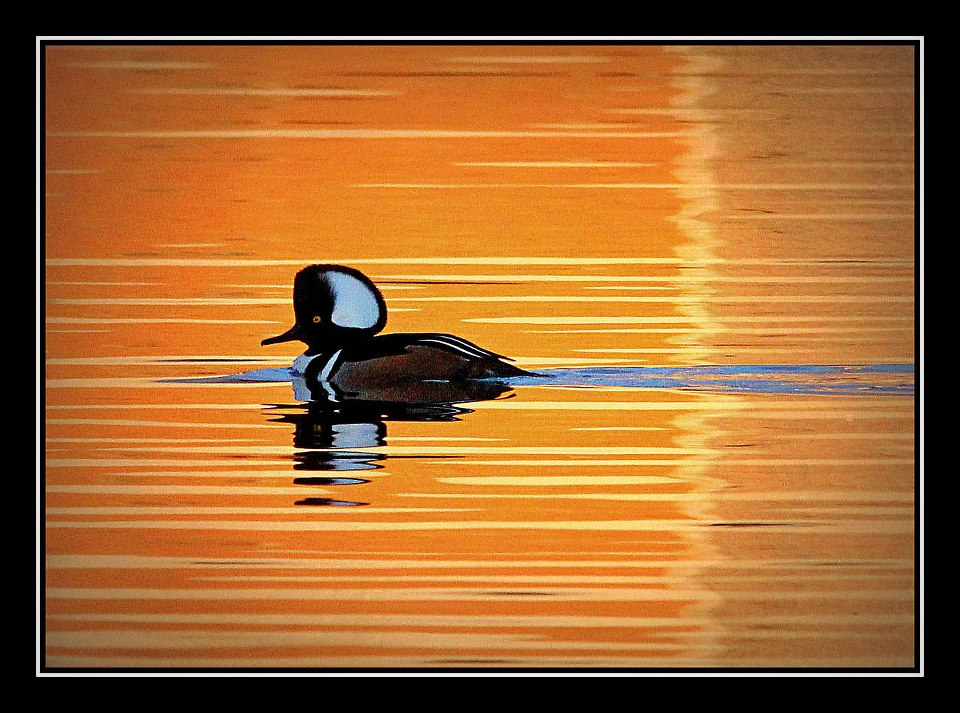 hooded merganzer at sunset author pluskwik paul