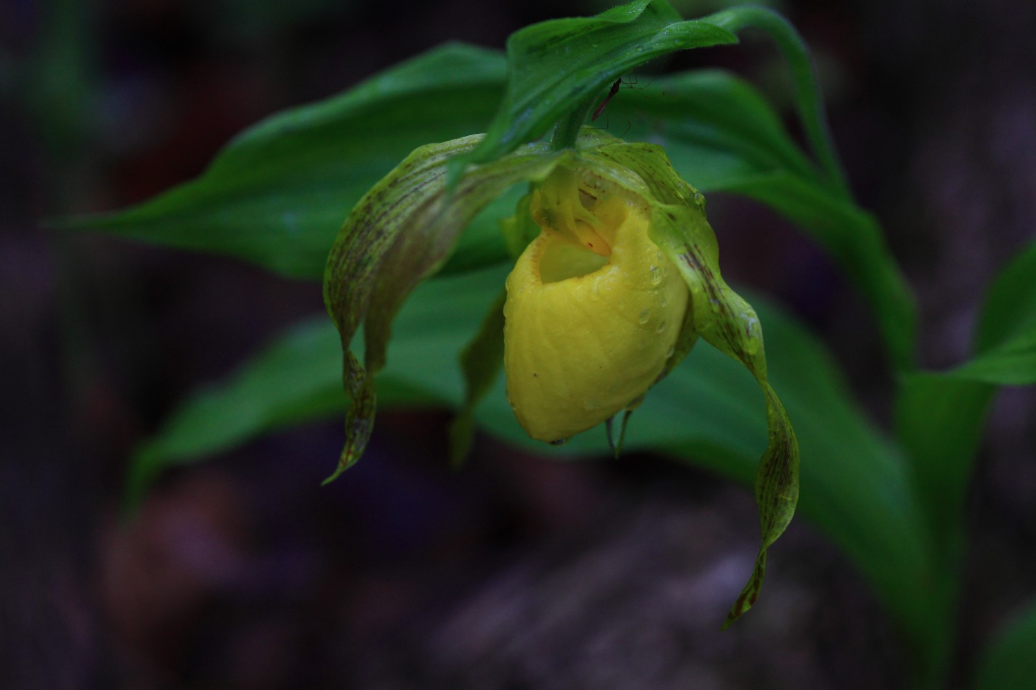 cypripedium pubescens author szulecki joshua