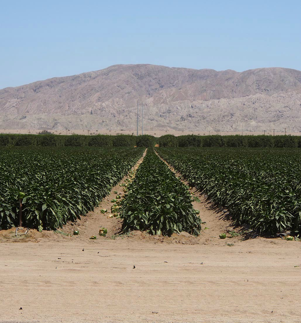 culls green peppers imperial valley author hull r ray