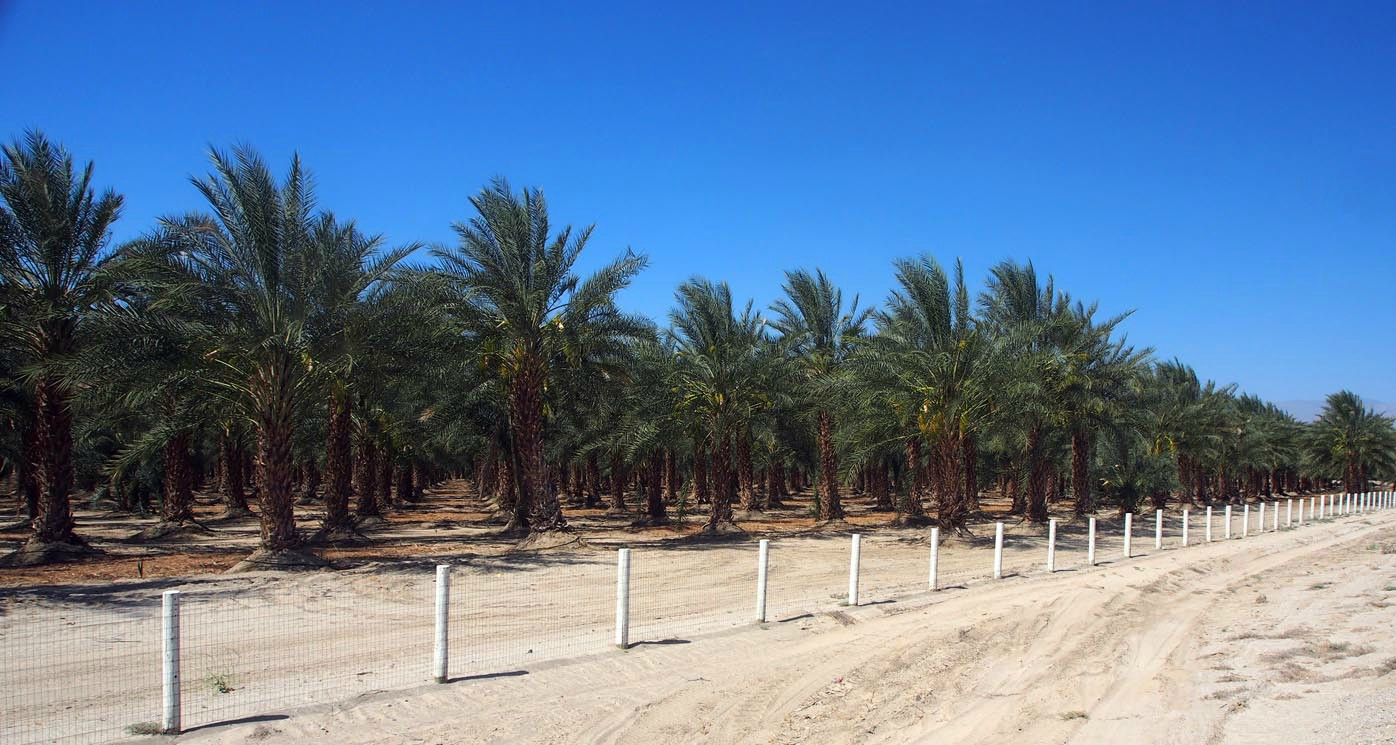 date palm grove author hull ray