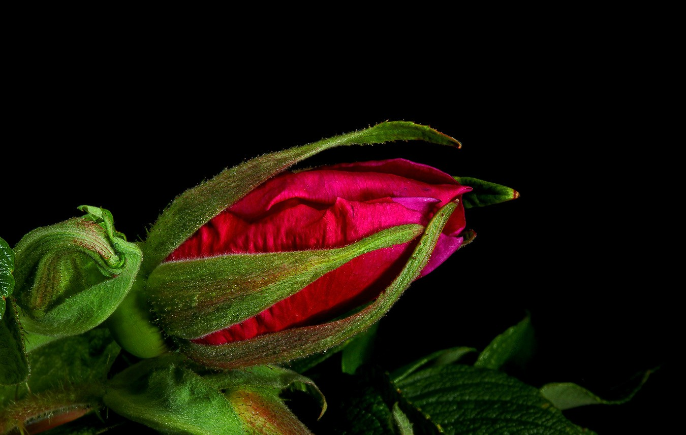 rosa rugosa img aw author sava gregory and verena