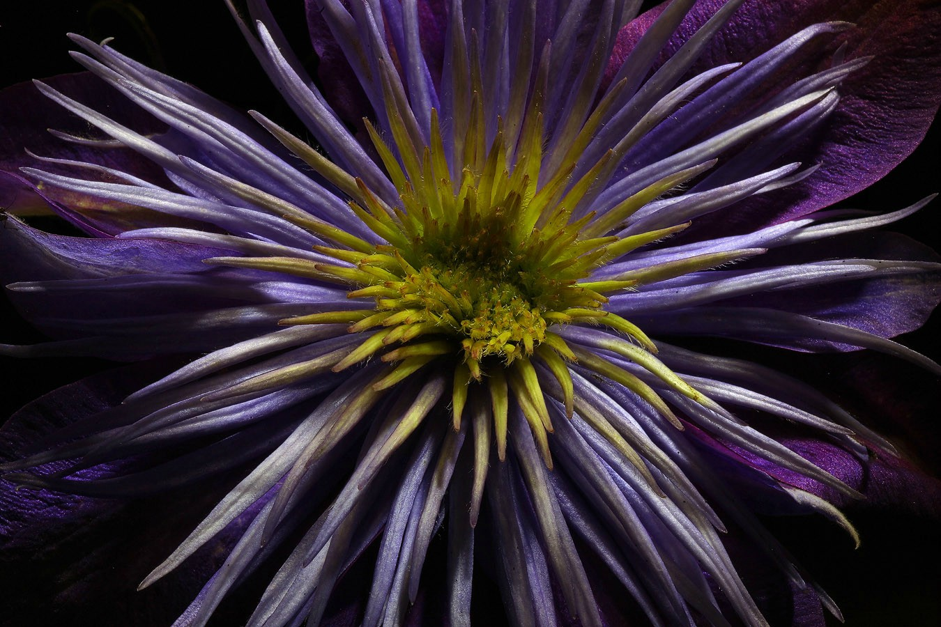 clematis img aw author sava gregory and verena