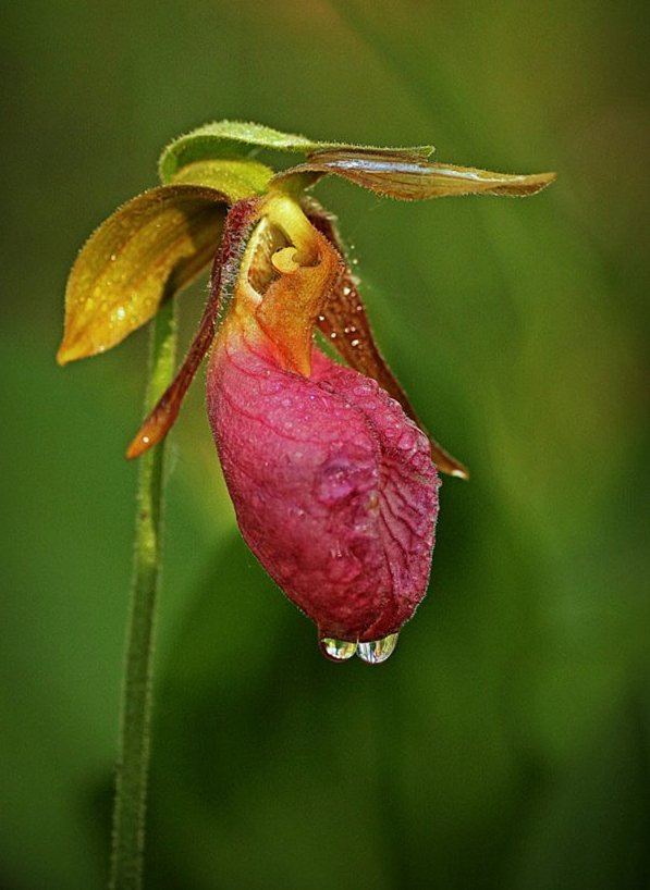 pink lady s slipper in full bloom author pluskwik paul