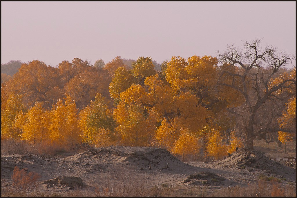autumn poplars in the gobi desert see large auth downs jim