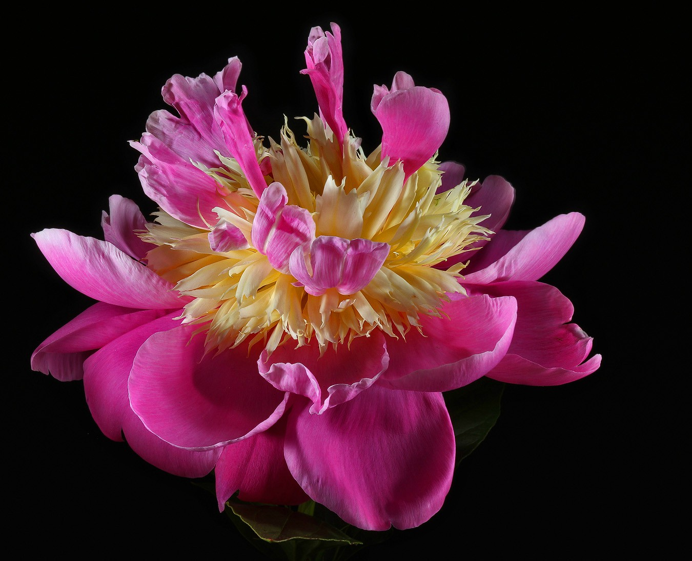 other peony img aw author sava gregory and verena