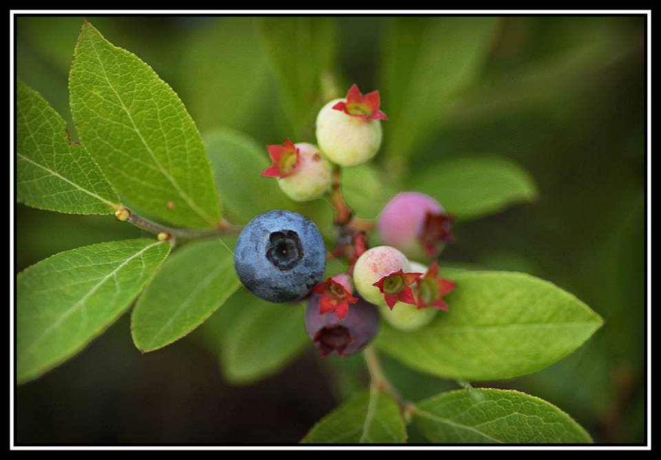 first ripe wild blueberry of the season author pl pluskwik paul