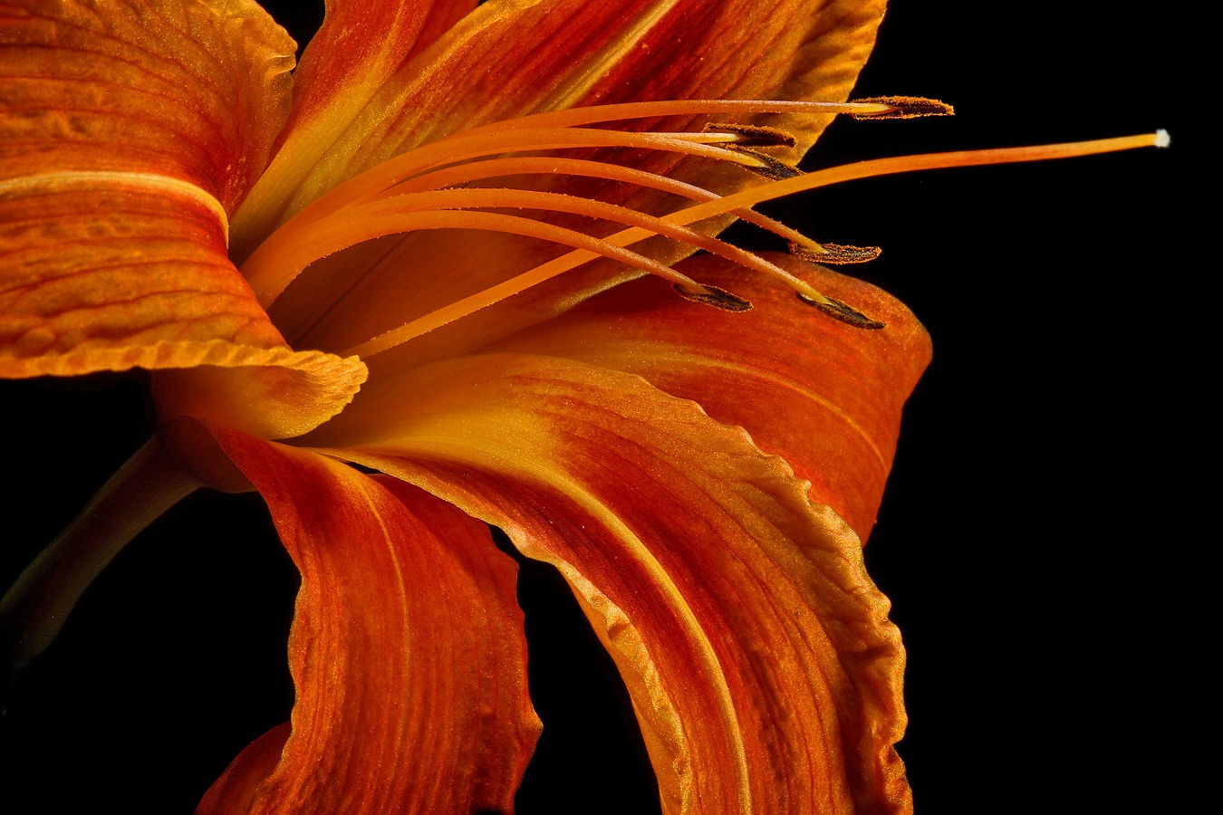 common day lily img aw author sava gregory and ve verena
