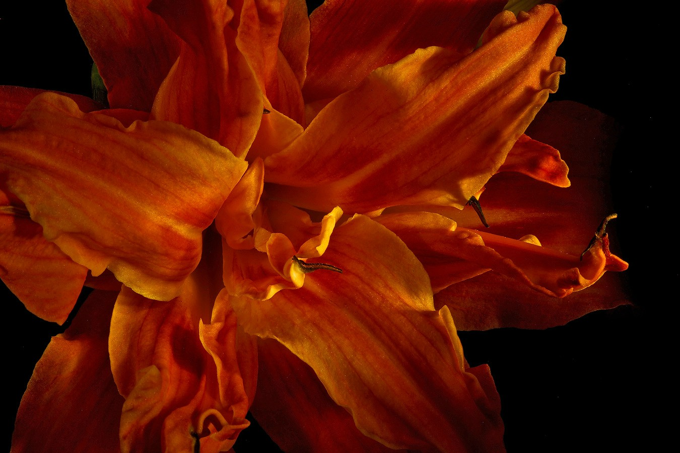 uncommon day lily img aw author sava gregory and verena