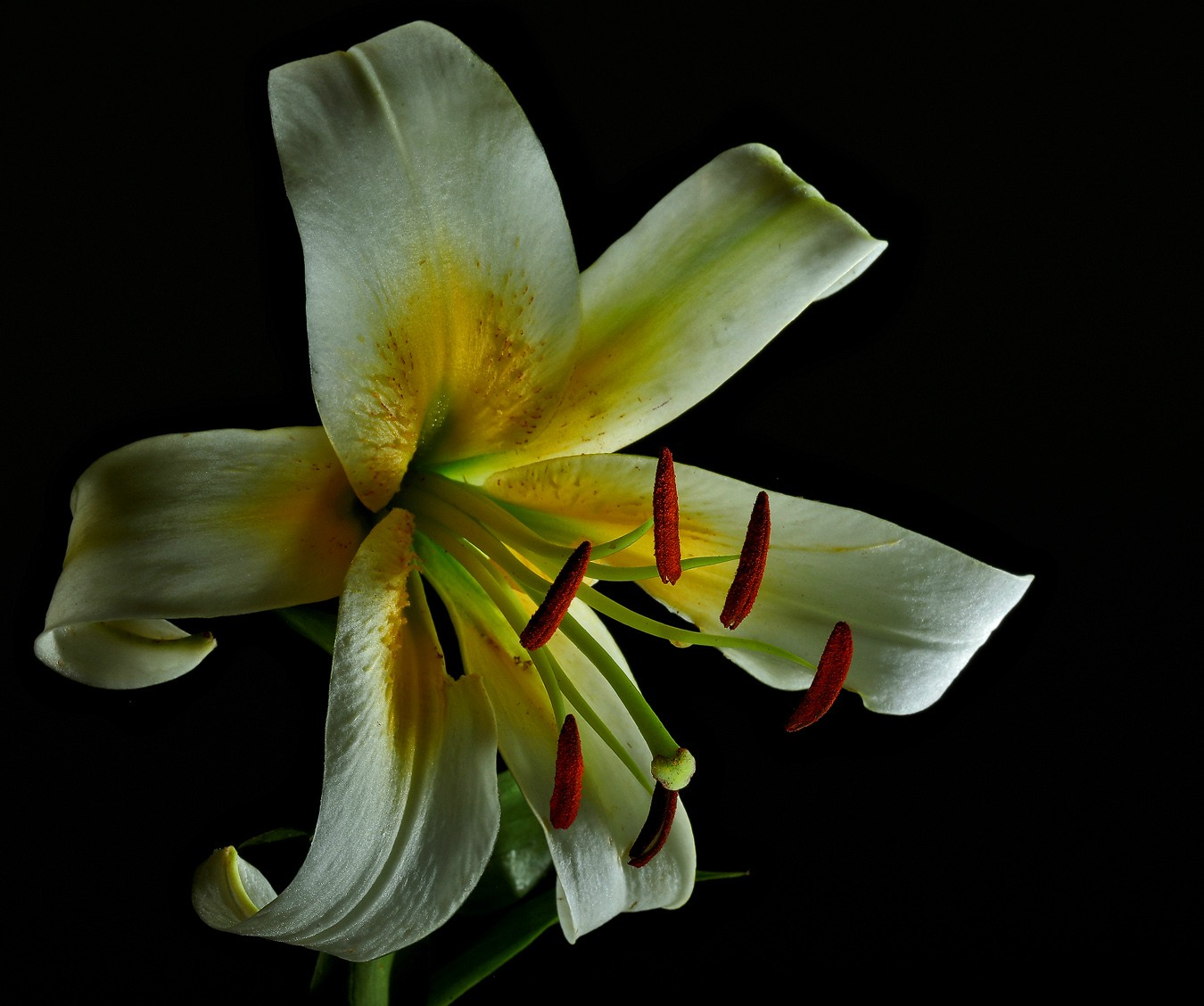 white lily img aw author sava gregory and verena