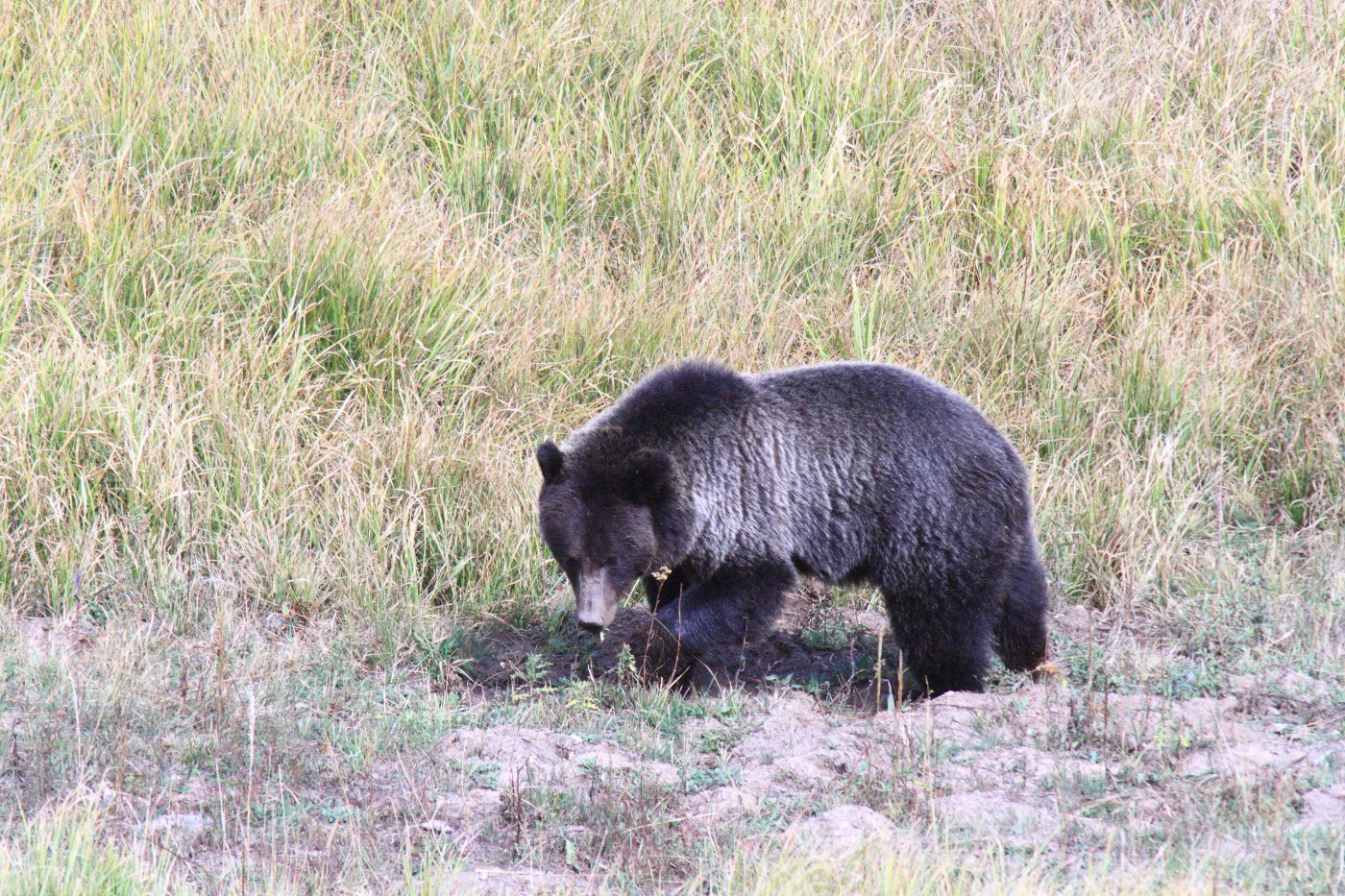 foraging grizzly bear hayden valley yellowston szulecki joshua