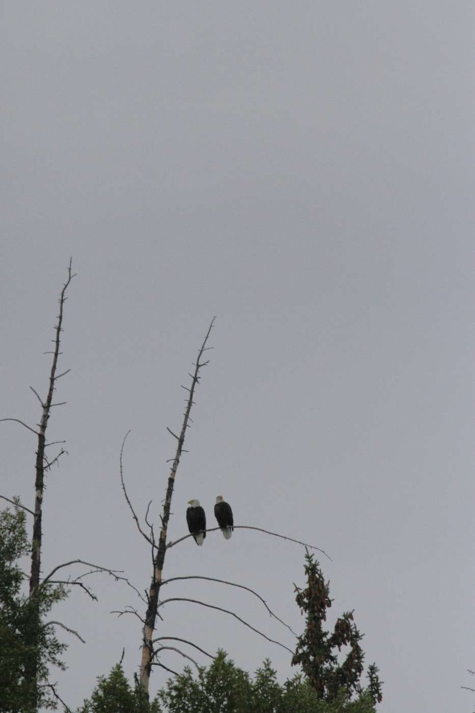 bald eagles grand tetons national park author s szulecki joshua