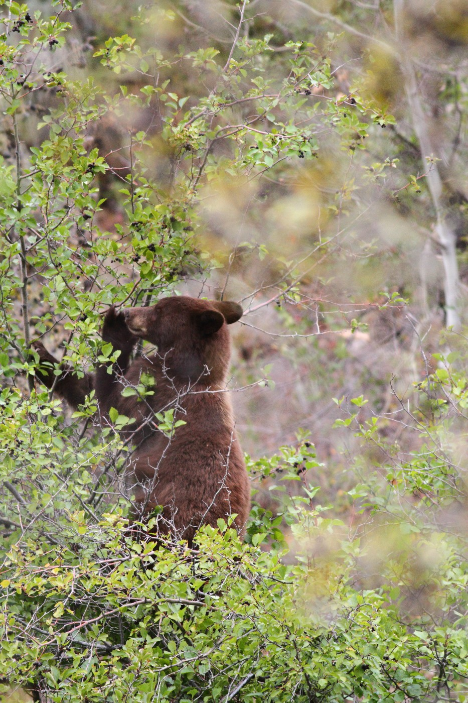cinnamon colored black bear grand tetons nationa szulecki joshua