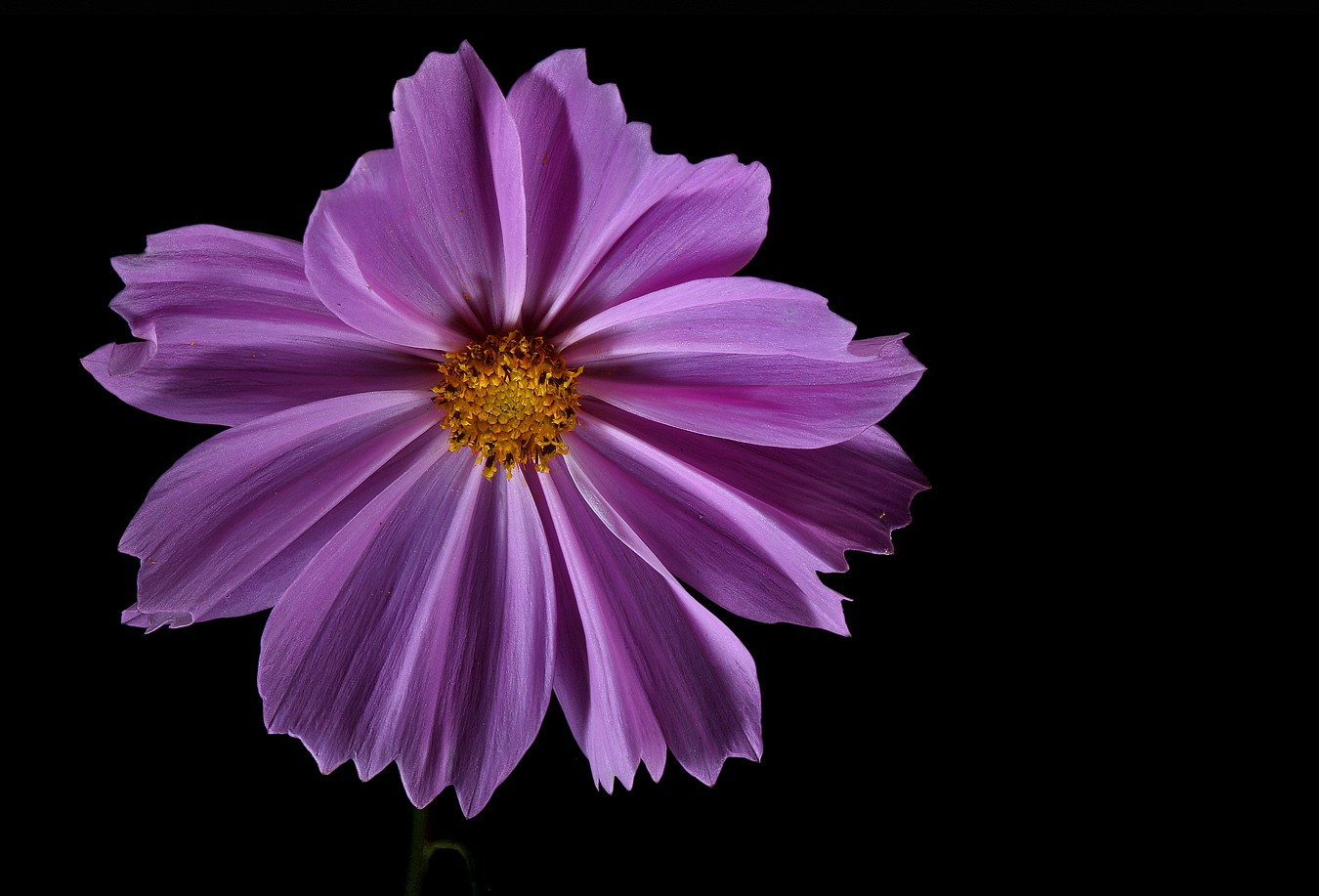 lavender cosmos img aw author sava gregory and ve verena