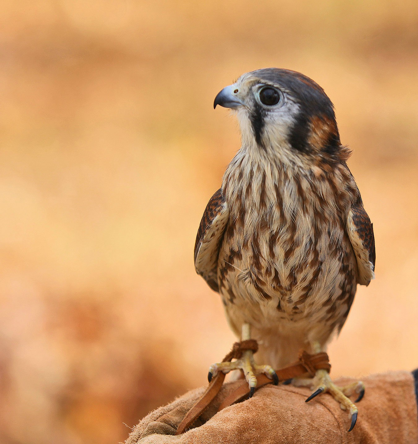 kestrel img aw author sava gregory and verena