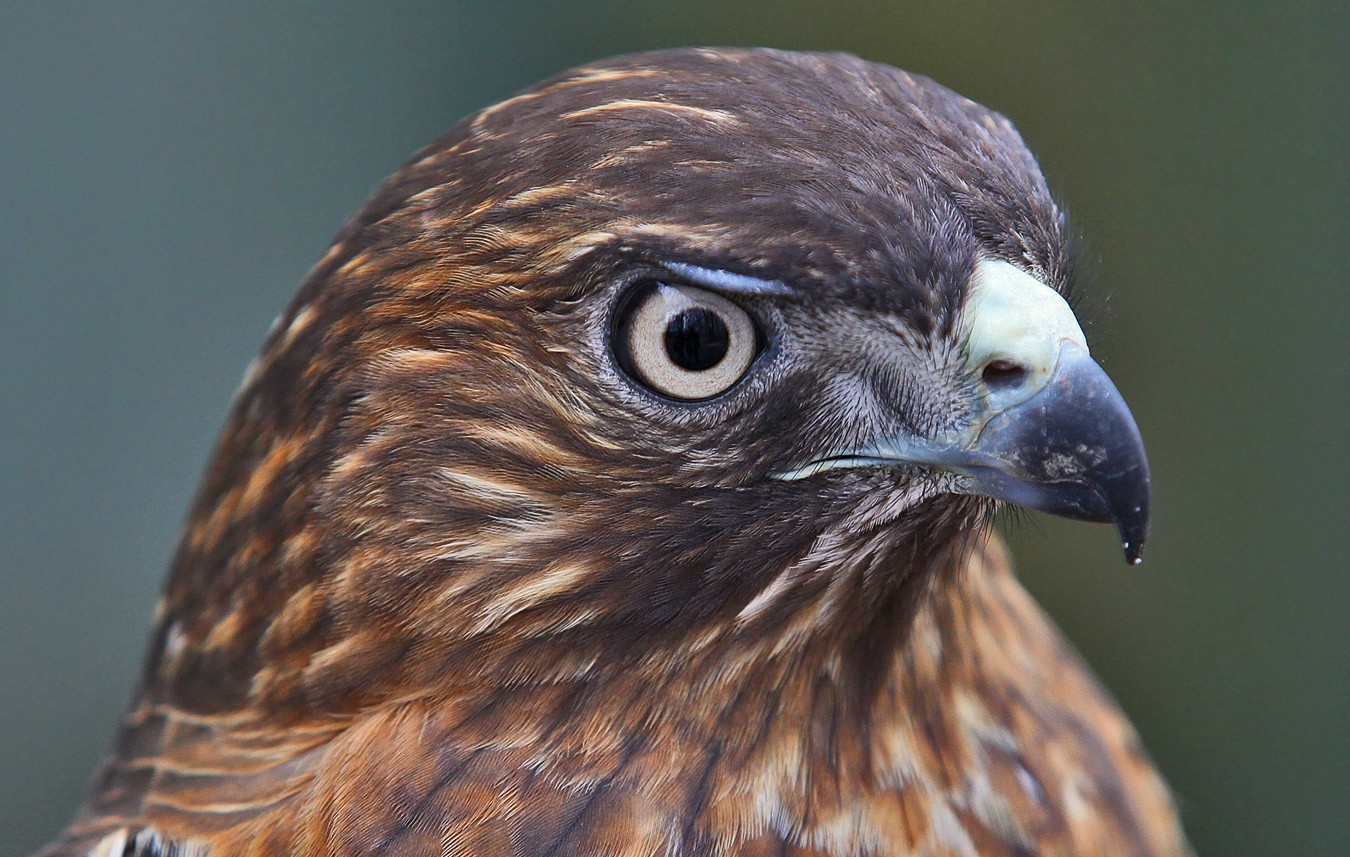 wide tailed hawk img abw author sava gregory and verena