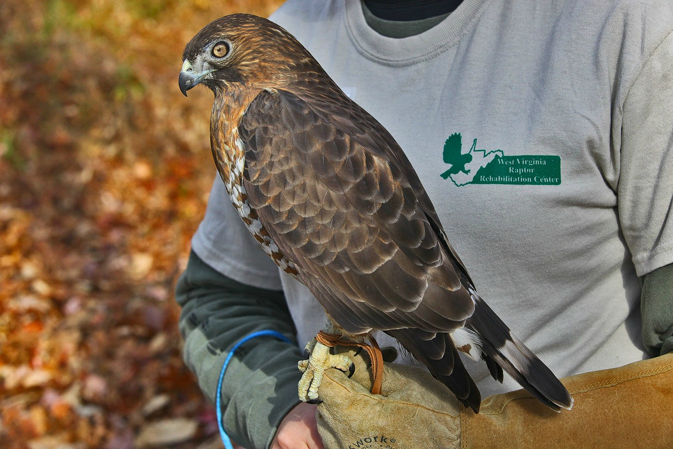 wide tailed hawk img aw author sava gregory and v verena
