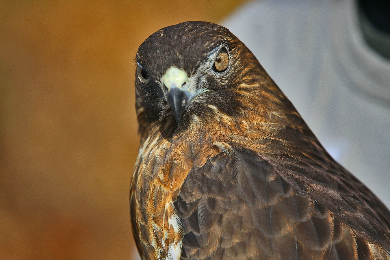 wide tailed hawk blind eye img aw author sava gre gregory and verena
