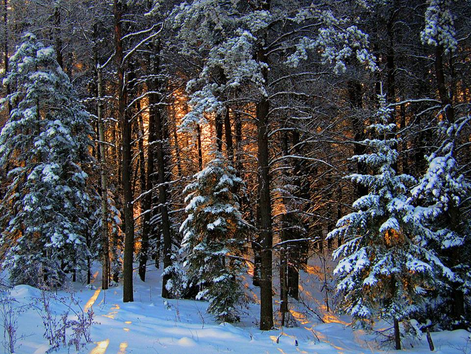 winter sunrise through the tall pines author pl pluskwik paul