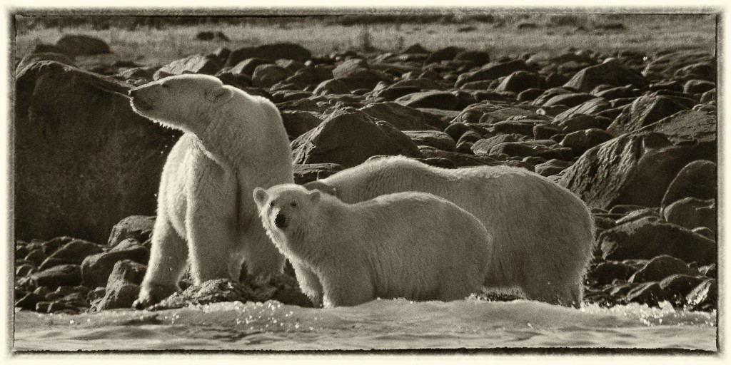mother cubs pls see large author downs jim