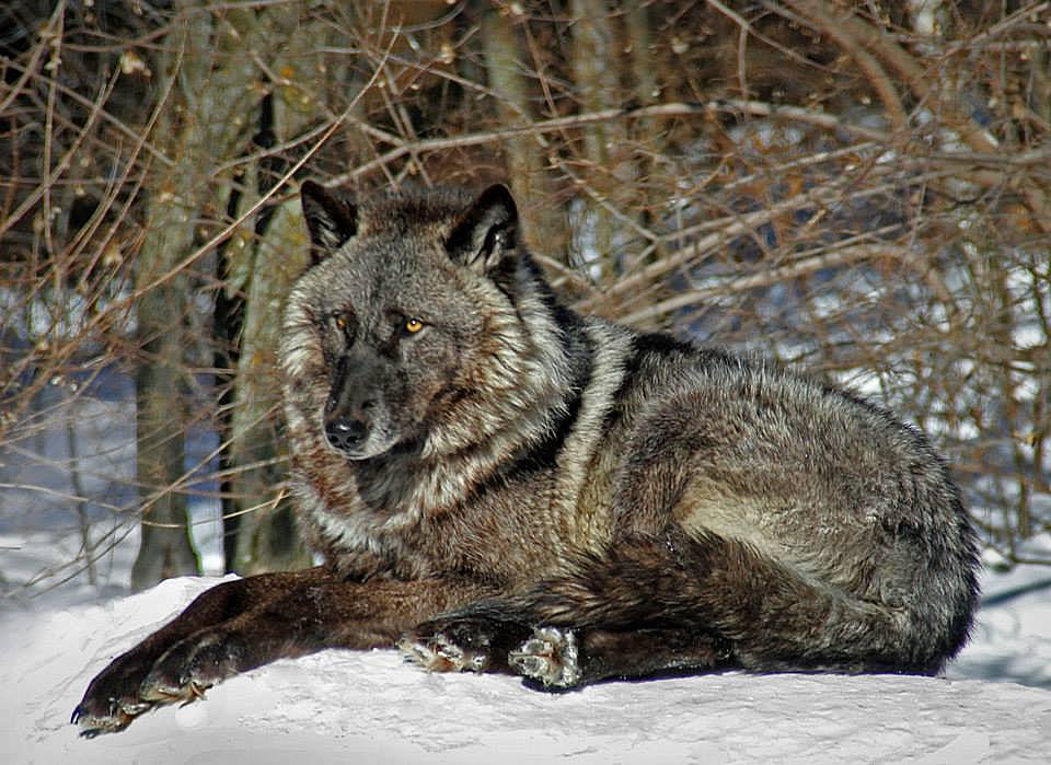 wolf enjoying the warm winter sun author pluskwik paul