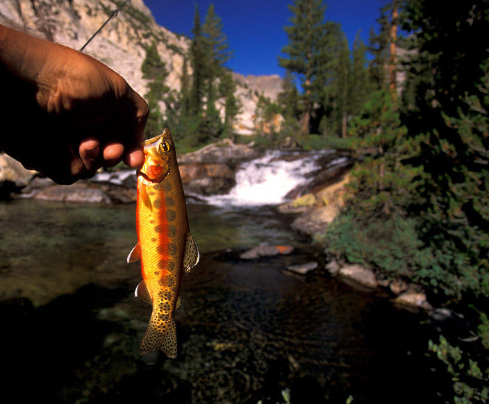 golden trout from m f kings river author ernst br brian