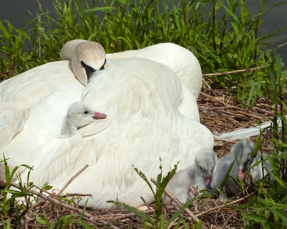 new born trumpeter swans at paec in stouffville a brooks david