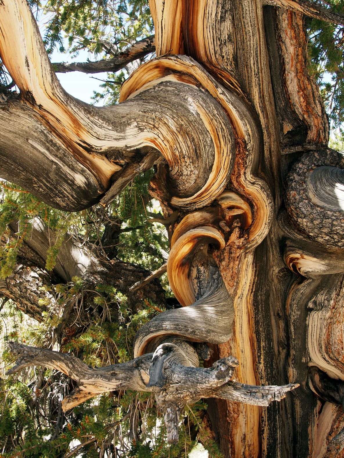 trunk detail brtistlecone pine author hull ray