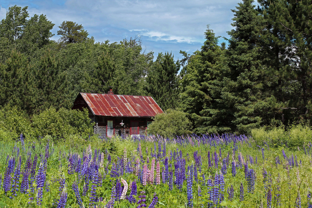 old log cabin and a field of lupine author pluskw pluskwik paul