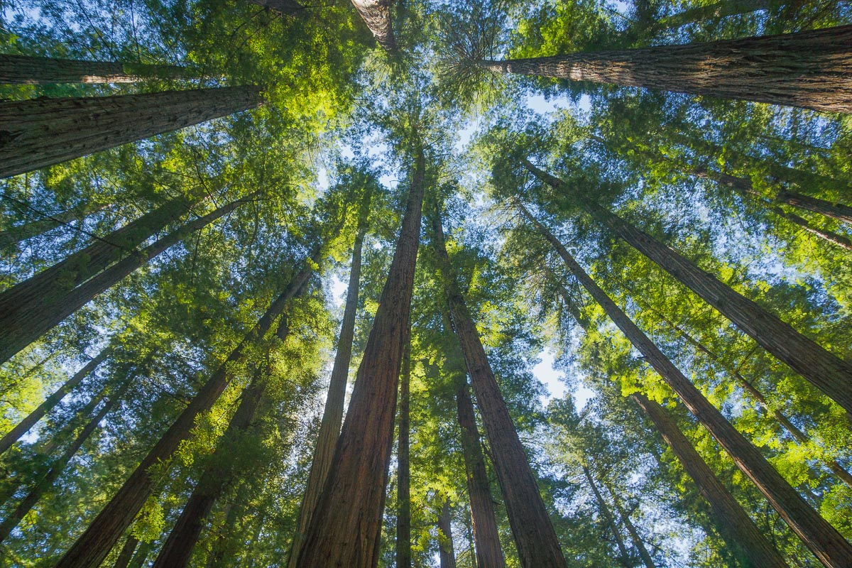 dappled sky in a redwood forest enlarge author d downs jim