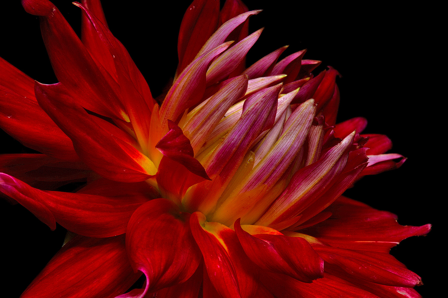 red dahlia img aw author sava gregory and verena
