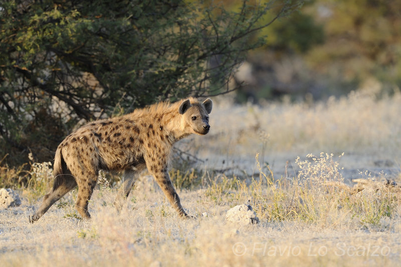 spotted hyena crocuta etosha national park lo scalzo flavio