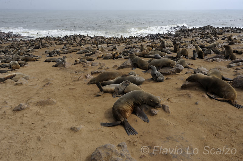 brown fur seal arctocephalus pusillus cape cross n lo scalzo flavio