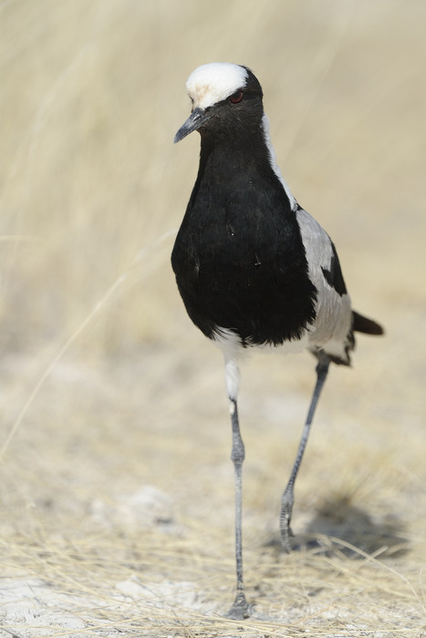 blacksmith lapwing vanellus armatus etosha nationa lo scalzo flavio