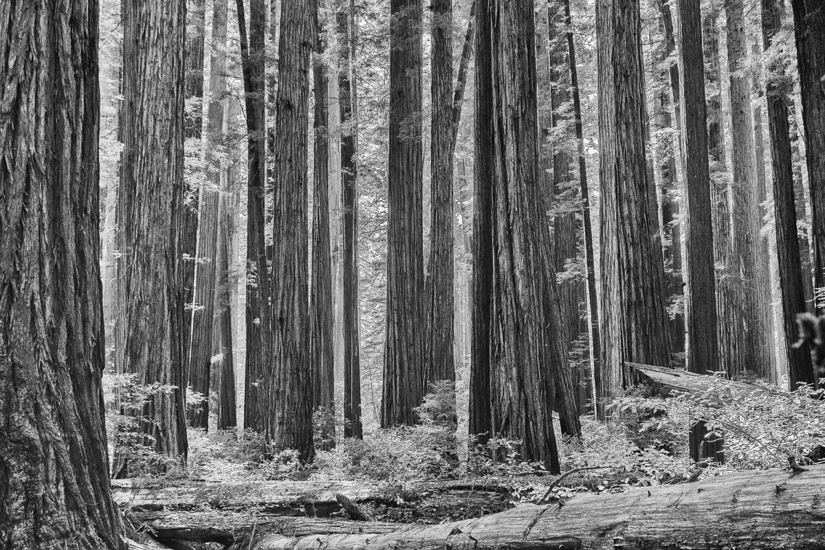 redwood forest in b w enlarge author downs jim